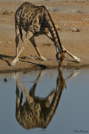 Reflective drinking Giraffe