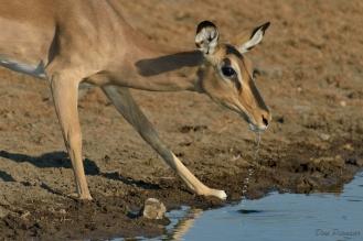 Thirsty Black Faced Impala female