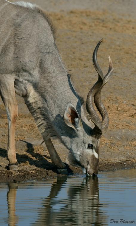 Drinking Kudu Bull