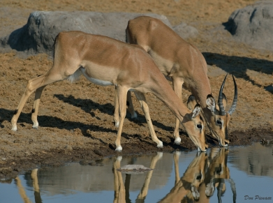 Young Black Faced Impala couple