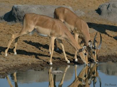 Young Black Faced Impala couple