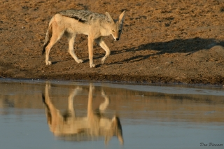 Jackal reflection