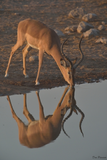 Black Faced Impala Ram