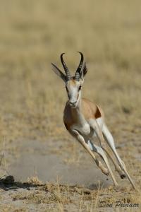 Action Springbok