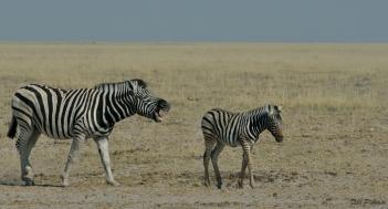 Scolding the Zebra Foal