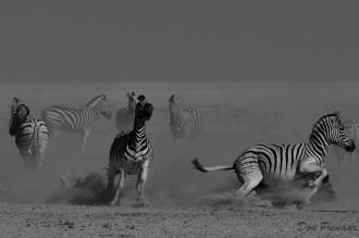 B & W Etosha Zebra