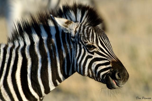 Etosha Zebra Foal
