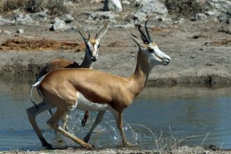 Alarmed Springbok