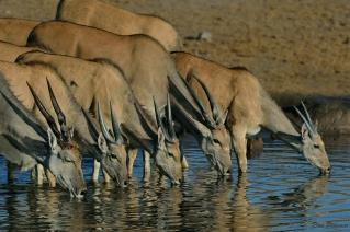 Drinking Eland Family