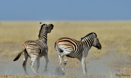 Zebra antics