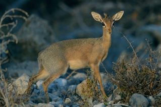 Last Light Dik Dik