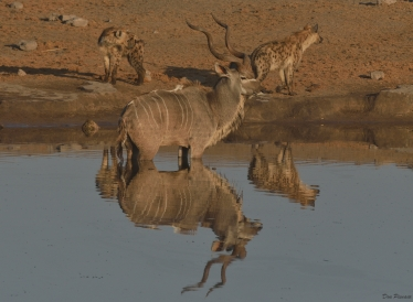 Kudu surrounded by Hyaena that is not going anywhere