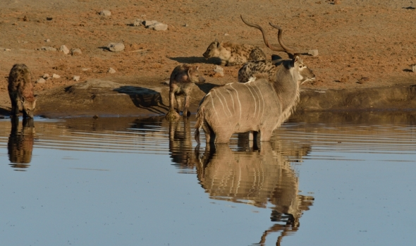 Constant intimidation at close range by the Hyaena on the Kudu Bull