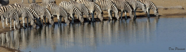 Plenty more Zebras feel safe enough to join at the waterhole to drink.. .