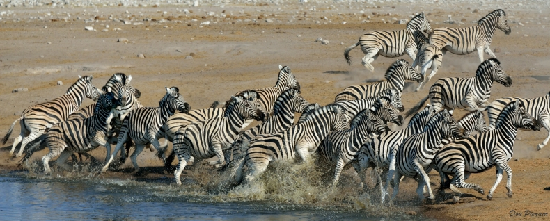 The Zebras are again frightened by some of the Hyaenas...