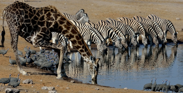 Other actors now join in to drink and test the Hyaenas ...