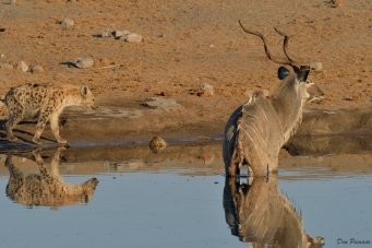 Agonising moments ...is the Kudu going or not...