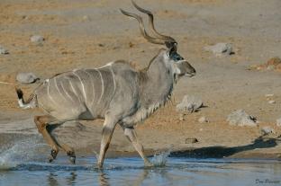 The Kudu bolts ...