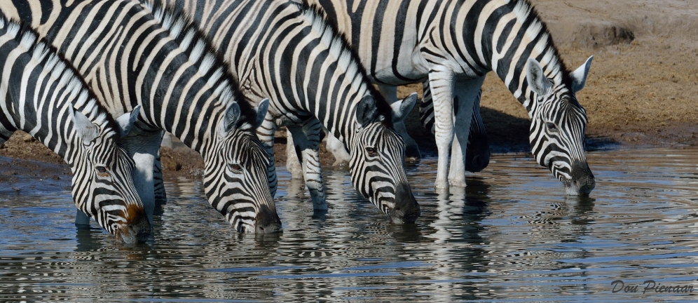 A few Zebras started to drink...