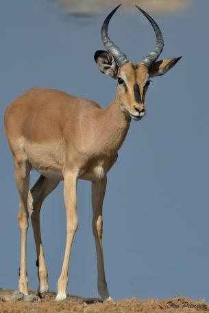 Black Faced Impala Ram