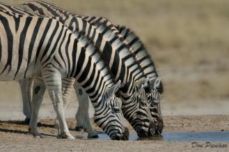 Drinking Etosha Zebra