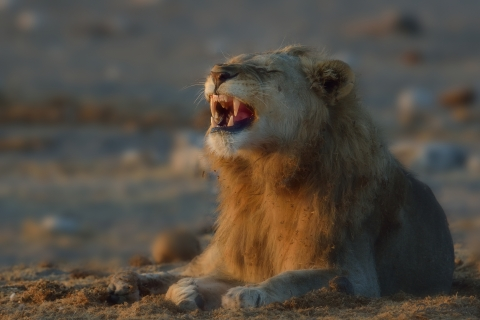 Young Etosha Male Lion