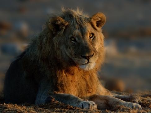 Young Etosha Male Lion