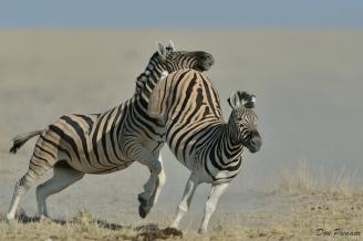 Kicking Etosha Zebra
