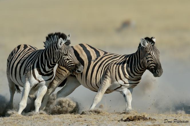 Raging Zebra