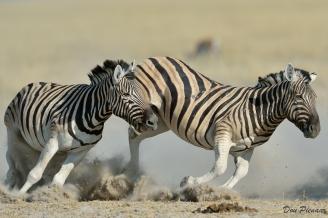 High Energy Zebra