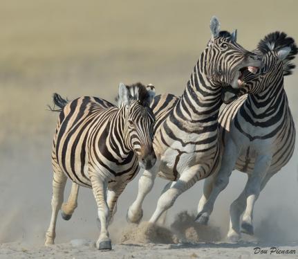 Zebra Aggression