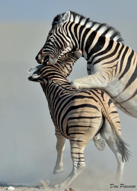 Zebra bite