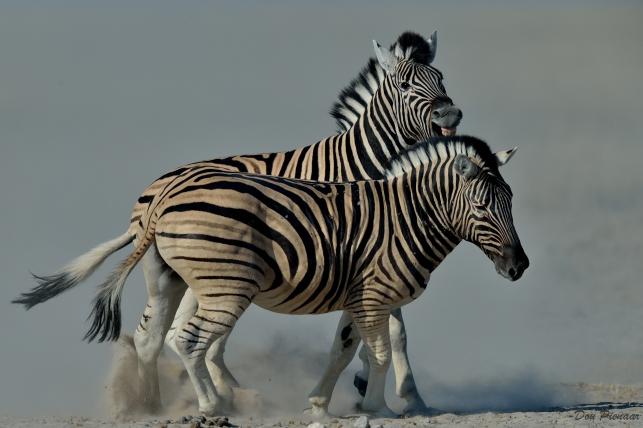 Etosha Zebra
