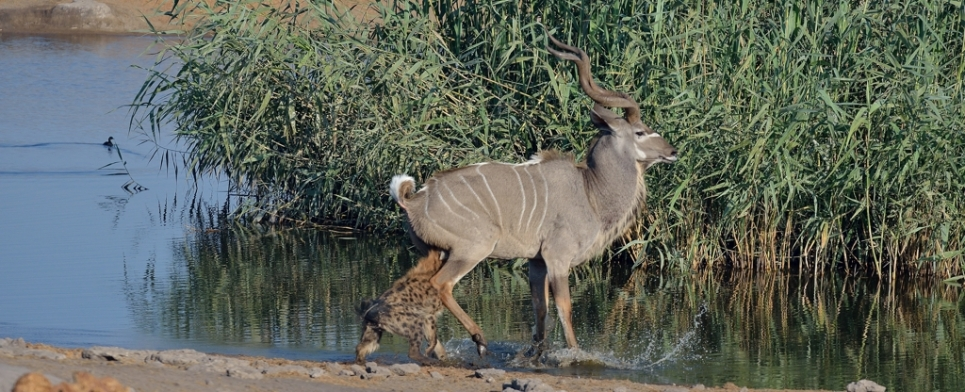 Hyaena goes for the soft parts of the Kudu...