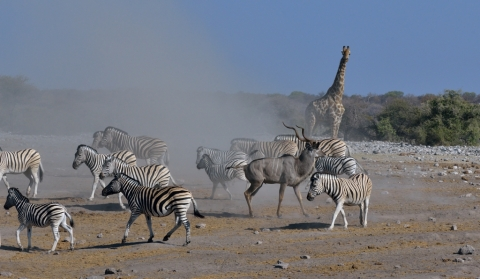 Smart Kudu leaving while Zebras return to drink..