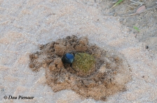 You can clearly see the top of the Dung Ball in the crater....