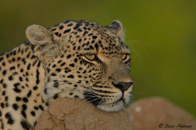 Sabi Sands Leopard