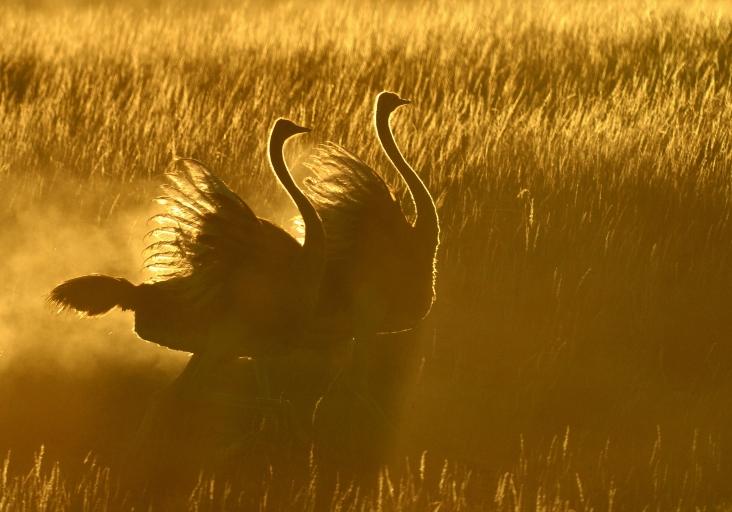 Kgalagadi Sunrise Ostrich dance....