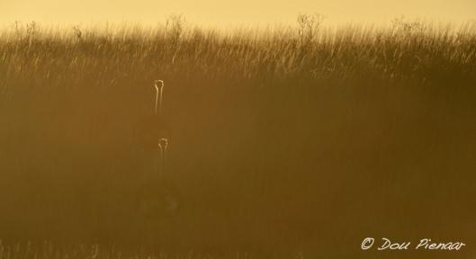 Kgalagadi Sunrise Ostrich Heads