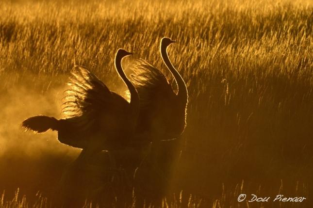 Kgalagadi Ostrich Surise dance