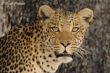 Sandibe Female Leopard