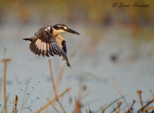 Water dripping Pied Kingfisher