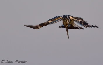 Howwering Pied Kingfisher