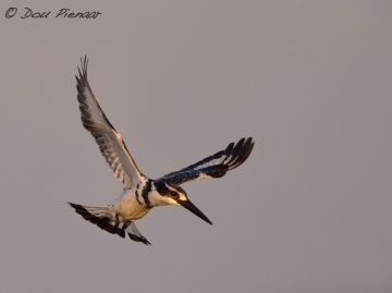 Hunting Pied Kingfisher