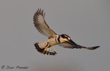 Prey Seeking Pied Kingfisher