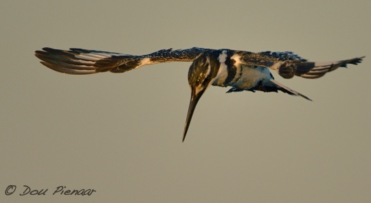Typical Howwering Pied Kingfisher