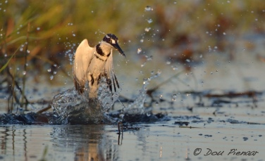 Pied Kingfisher exiting the water after a dive