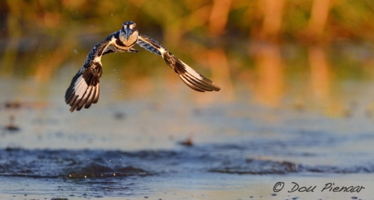 Pied Kingfisher Water Profile