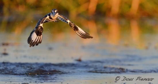Pied Kingfisher Water Profile