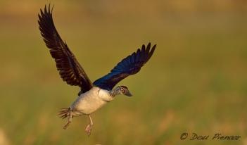 Female Knobb billed DuckTeal